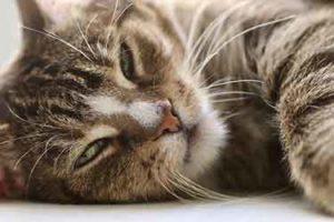 maladie chat
