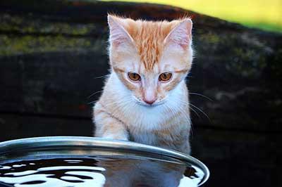 Pourquoi mon chat trempe sa patte dans l'eau ?
