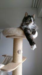 arbre à chat natural paradise maine coon